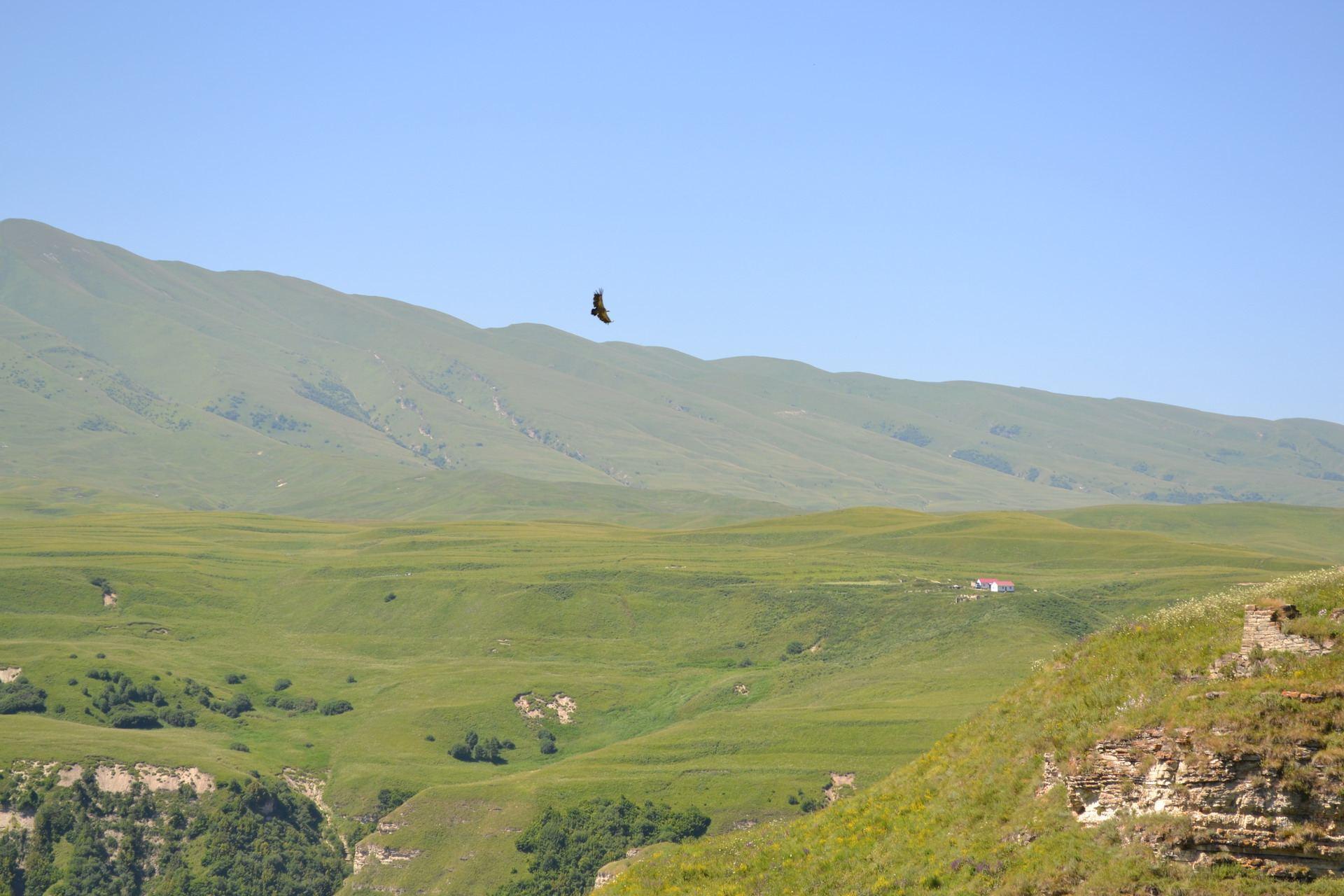 горный орёл, чечня, горы кавказа