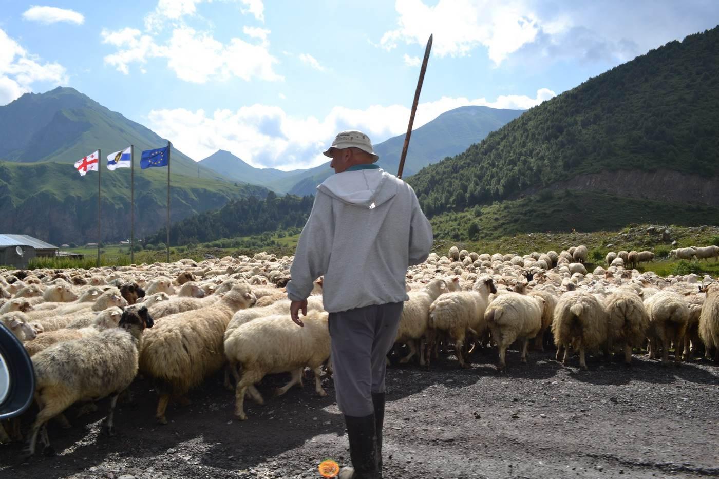 грузия, асетия, граница, пастух, овцы