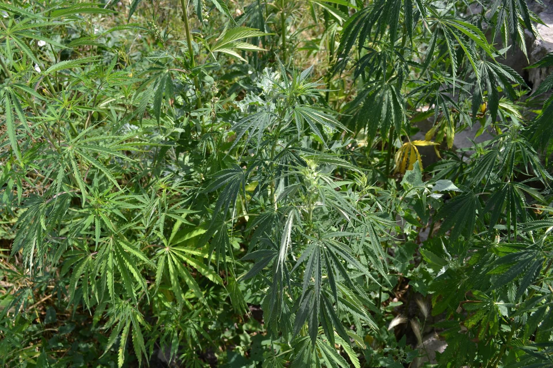 марихуана в природе, ахальцихе, грузия