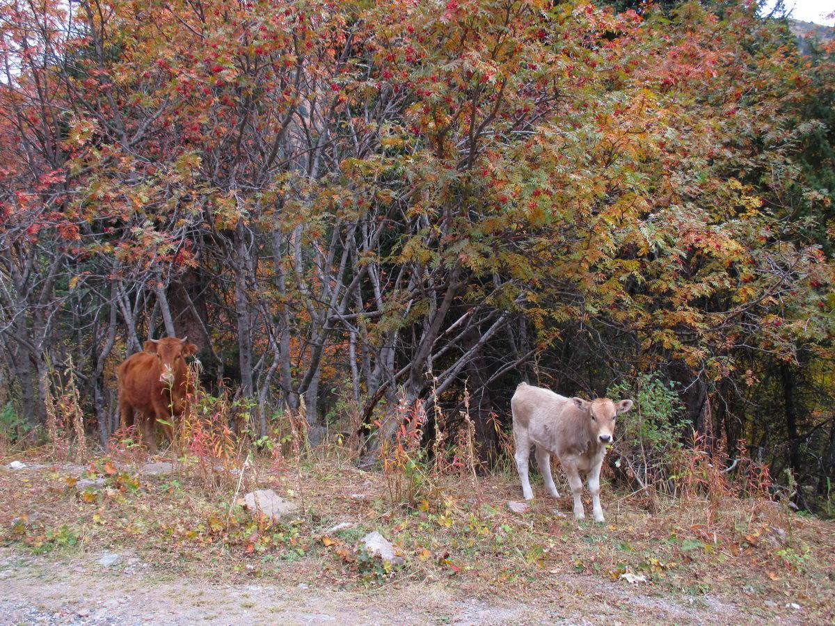 коровы в горах алатау. казахстан
