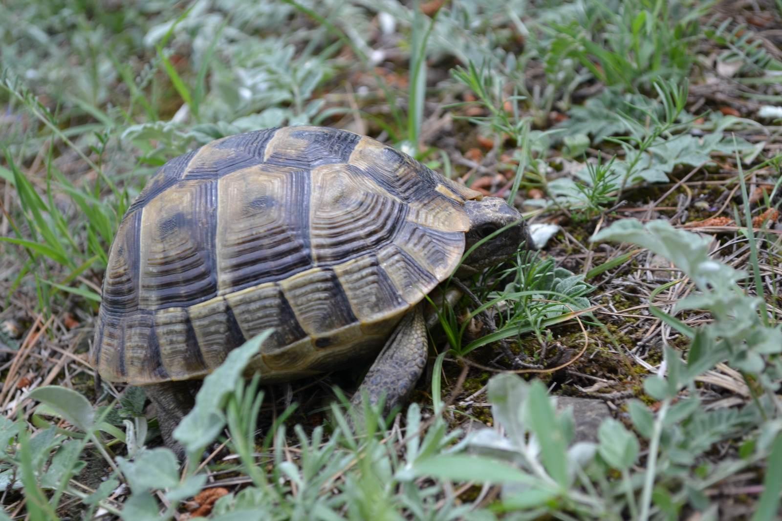 черепаха, грузия, тбилиси