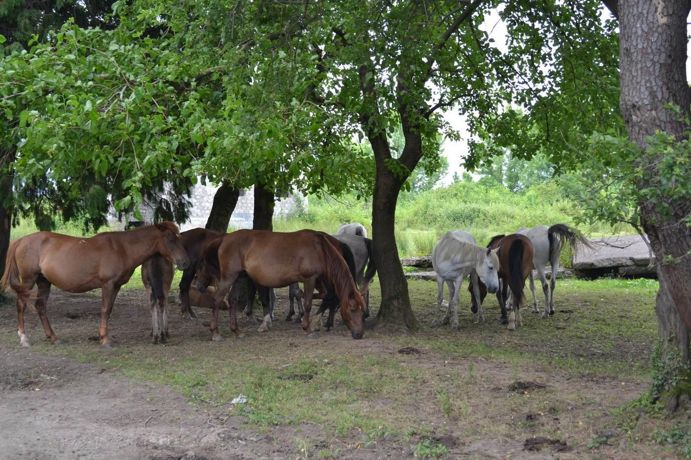 лошади, натанеби, грузия