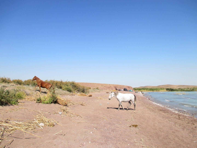 озеро балхаш. лошади. красивая природа. казахстан
