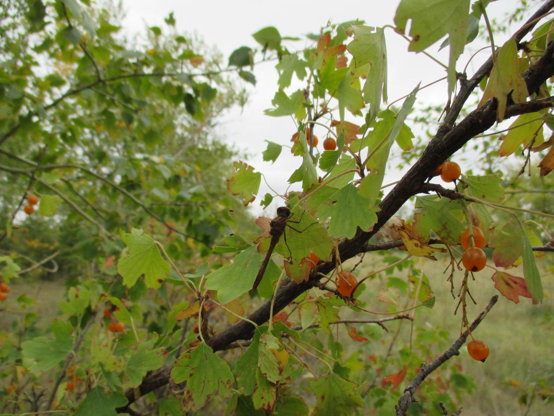 смородина и сонная стрекоза. природа. автостоп через сибирь