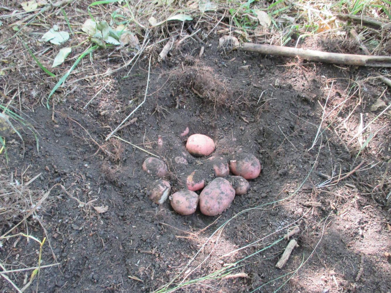 закапываю в земле картошку, чтоб приготовить на костре. природа. автостоп через сибирь