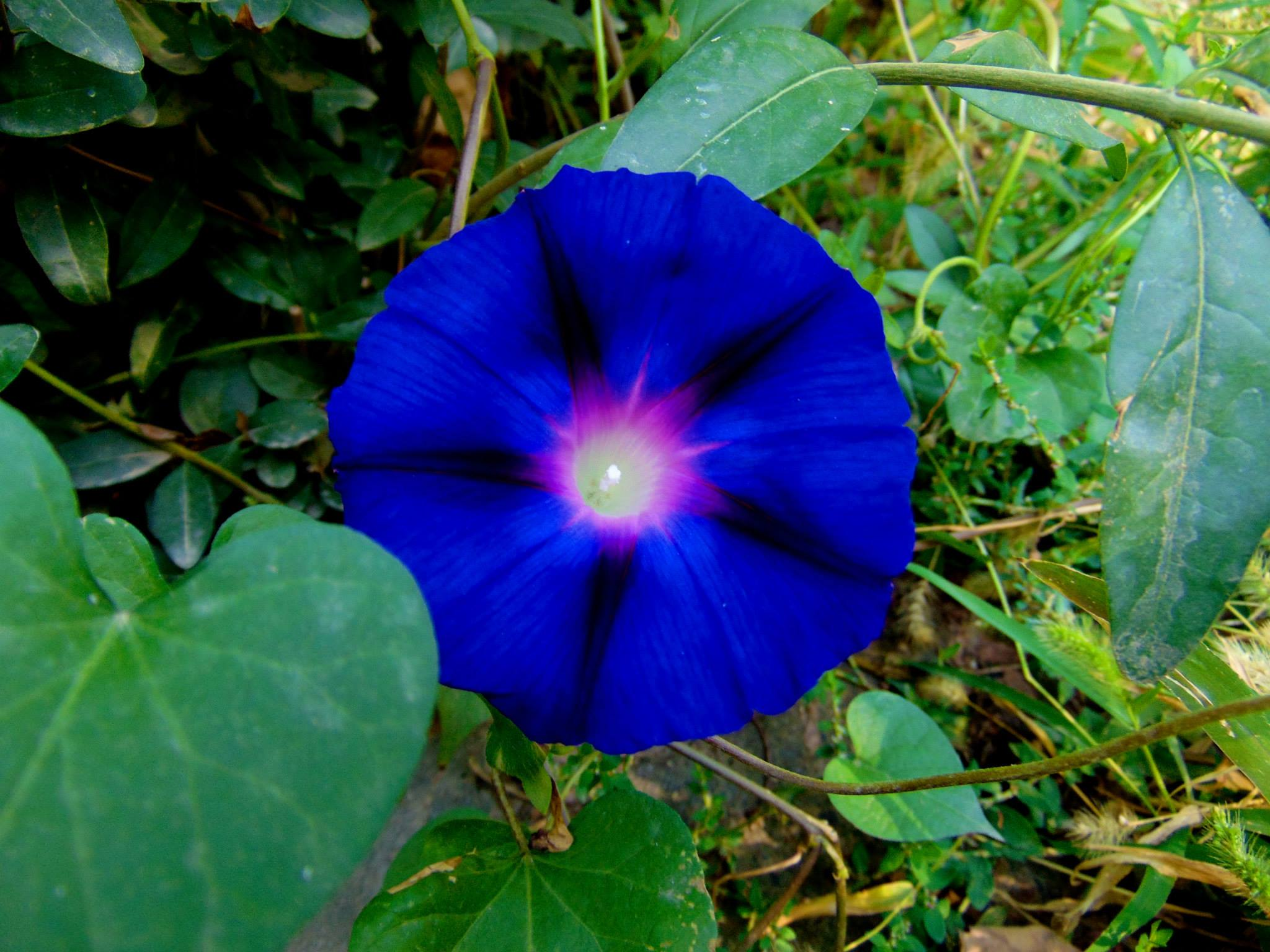 красивый синий цветок. джалал-абад. ферганская долина. предгорье тянь-шаня. путешествия кати. киргизия