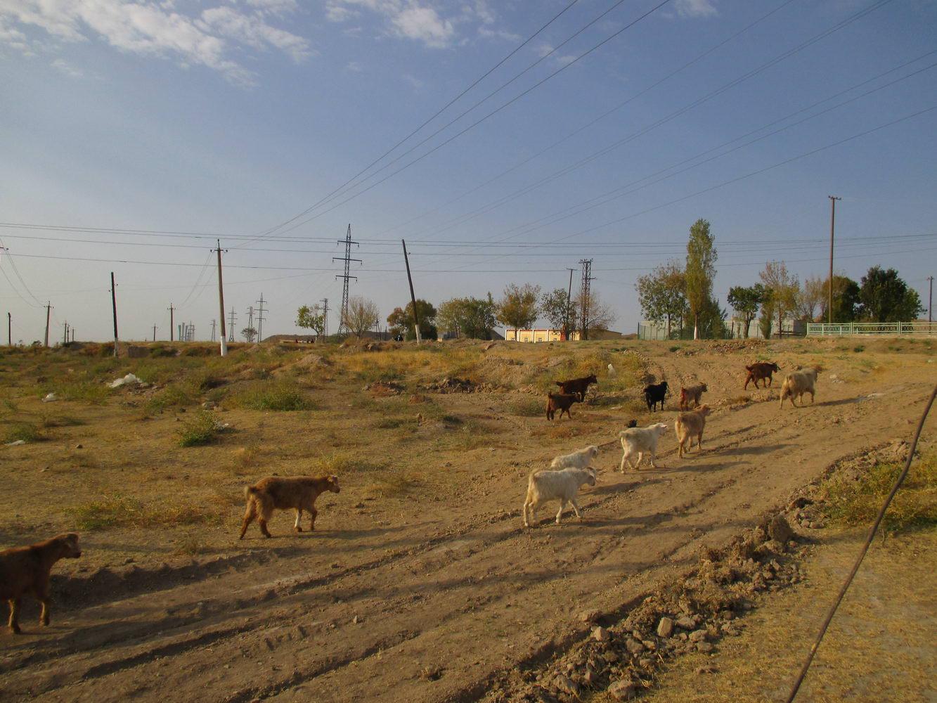 птицы афганцы ездят на спинах животных. узбекистан алмалык