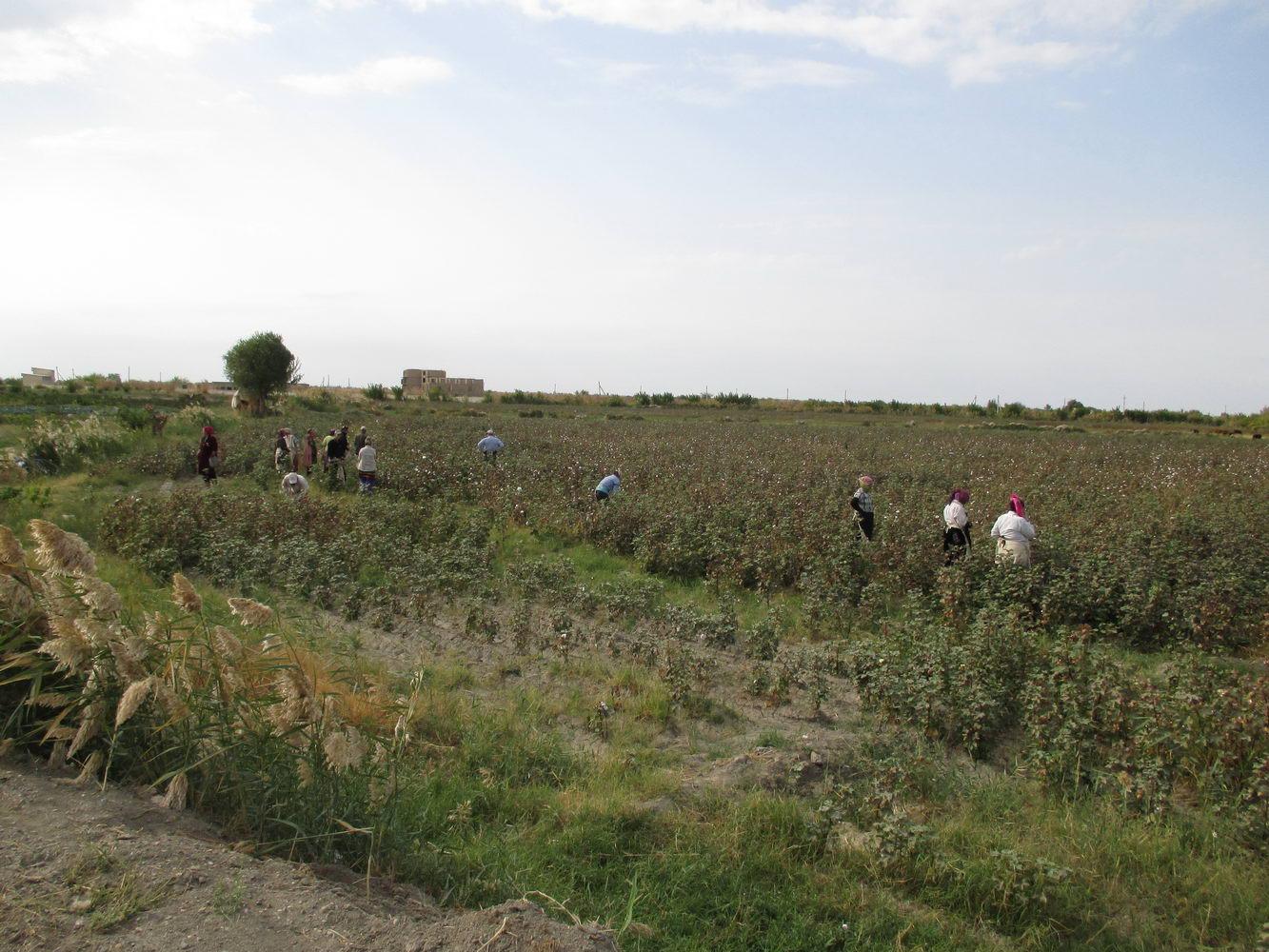 работники на хлопковом поле. путь из узбекистана в казахстан автостопом