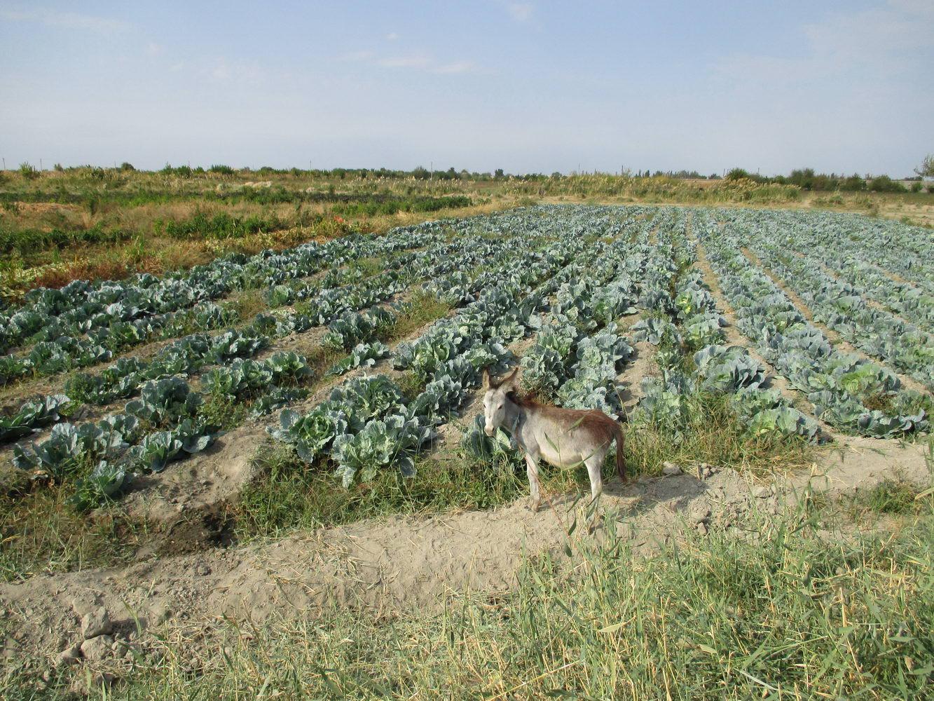 работники на капустном поле. путь из узбекистана в казахстан автостопом