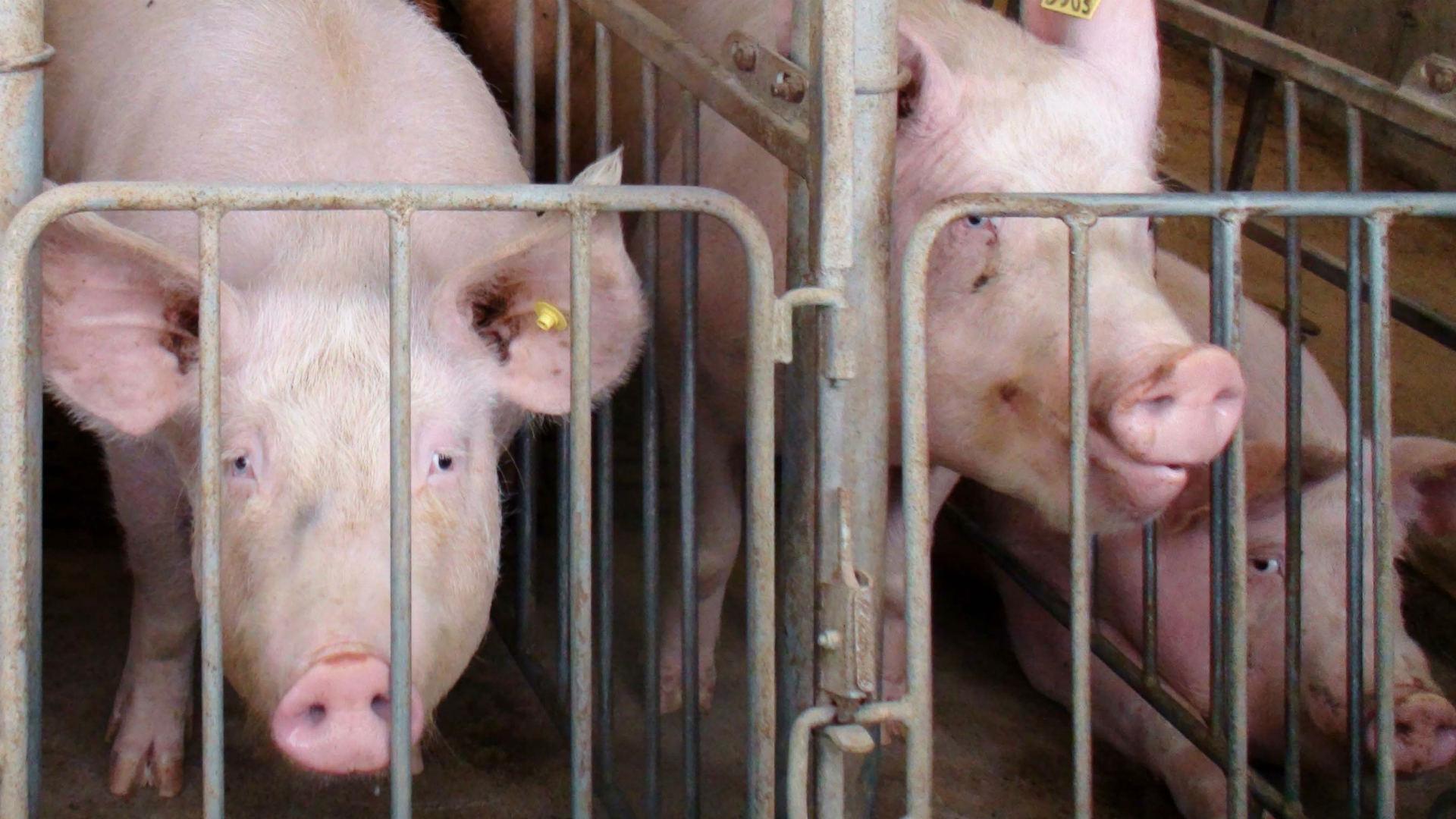 грустные свиньи в клетках. невинность вегетарианцев